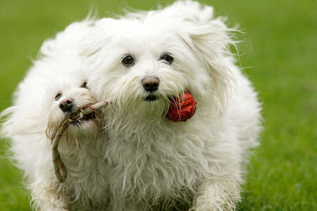 close-up of two running withe dogs playing together photo