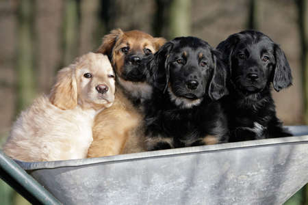 four hovawart puppies sitting in a barrow