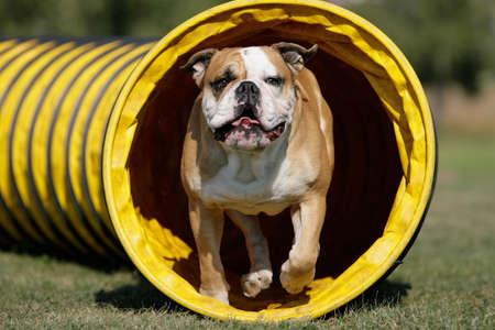 a continental bulldog is running through a agility tunnel