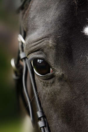 close-up of the head of a dark horse photo