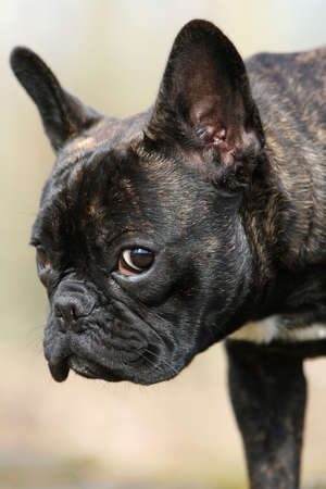 close-up of the head of a French bulldog photo
