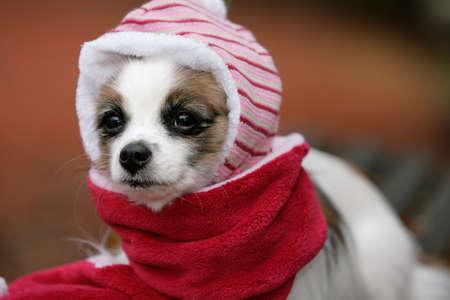 papillon dog dressed like a baby photo