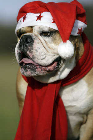 christmas bulldog photo