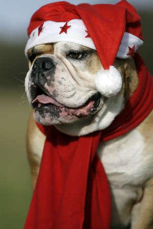 christma: christmas bulldog