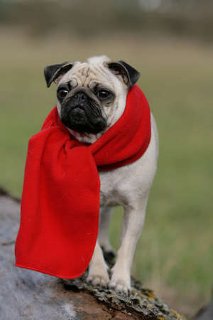 pug with red scarf photo