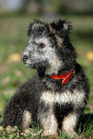 sitting young pumi dog