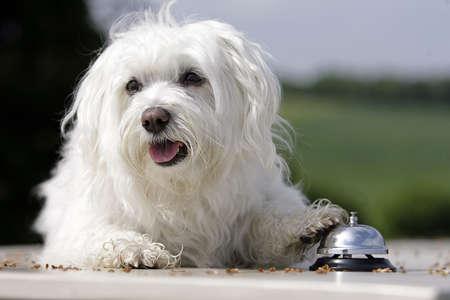 white dog ringing Banque d'images