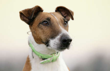 fox terrier photo