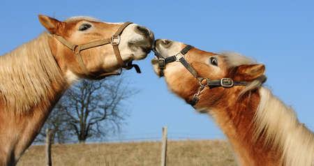 kissing Haflinger horses Banque d'images