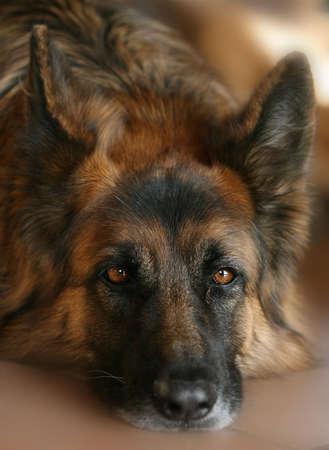 portrait of the head of a German shepherd dog photo