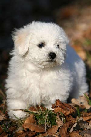 Close-up of a bichon frisee puppy