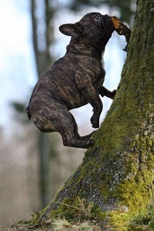 Young French bulldog climbing a tree