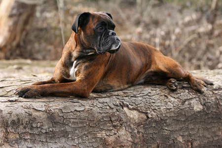 German boxer dog taking time out in forrest Banque d'images