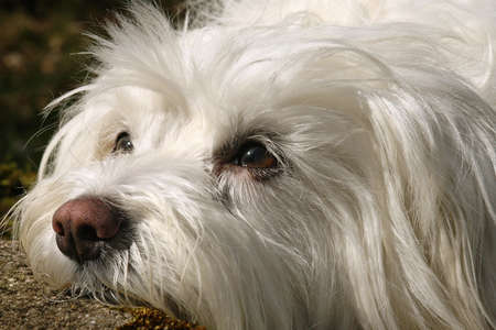 portrait of the head of a white dog photo
