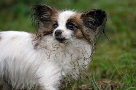 Retrato de un perro joven papillon sucio  Foto de archivo