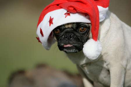 little blond pug dressed like Santa Claus