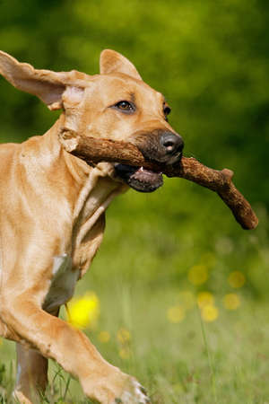 Rhodesian ridgeback puppy playing with a stick of wood
