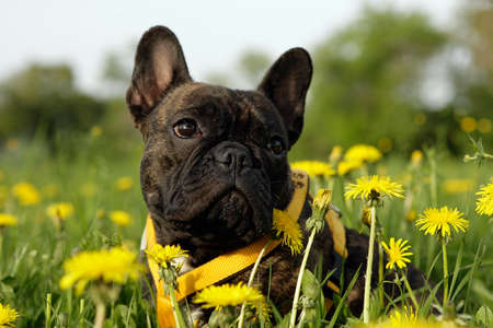 Young French bulldog sitting between yellow flowers photo