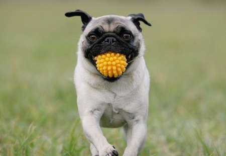 bring: running blond pug holding a yellow ball Stock Photo