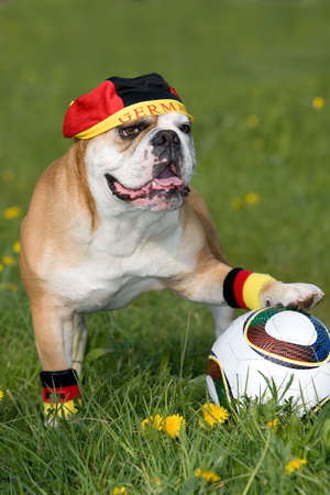 portrait of a continental bulldog as German soccer fan Stock Photo