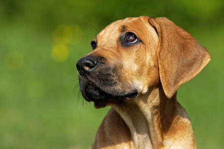 Portrait of a Rhodesian Ridgeback puppy photo