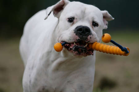 running dogo argentino dog with a play-toy in its mouts