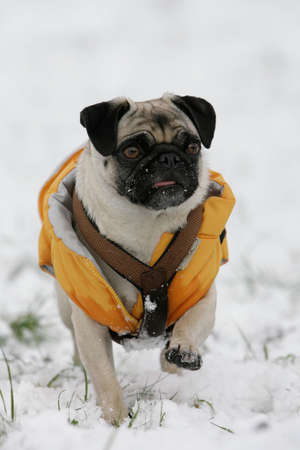 running blond pug in snow dressed with an orange jacket photo