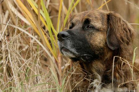 portrait of an older Leonberger dog