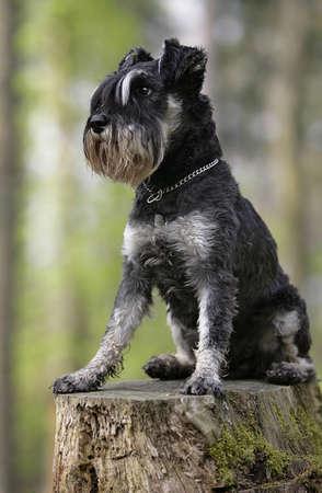 schnauzer dog Banque d'images