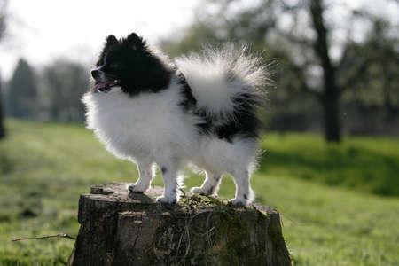 standing pomeranian dog
