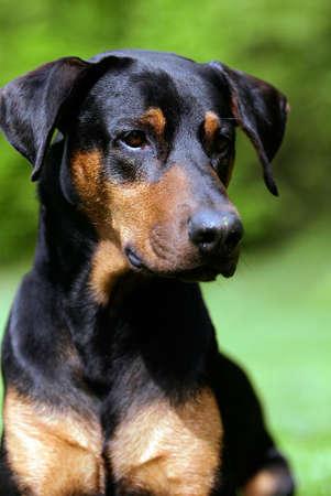 proud doberman dog