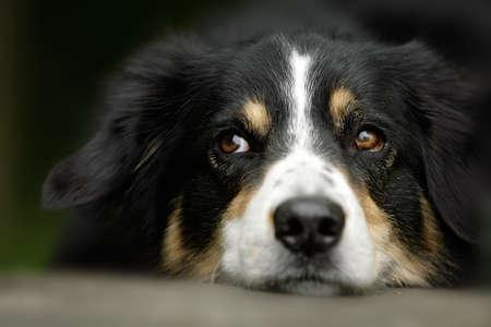 portrait of an Australian shepherd dog photo