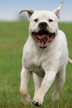 running dogo argentino dog Banco de Imagens - 7601323