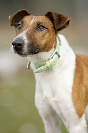 close-up of a smooth haired fox terrier