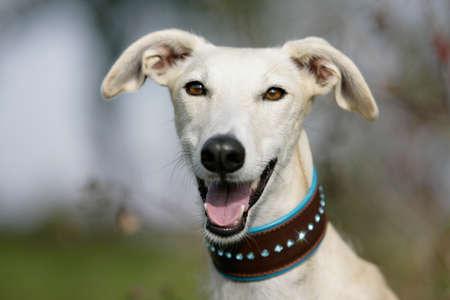 portrait of a noble galgo espanol dog photo