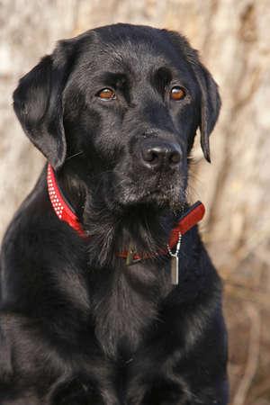 portrait of a black Labrador Retriever dog photo