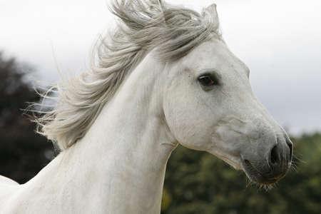 жеребец: белого жеребца