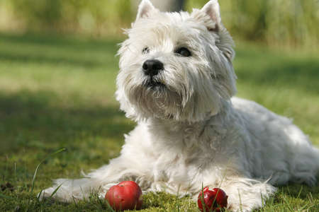 behold: portrait of a west highland white terrier watching apples