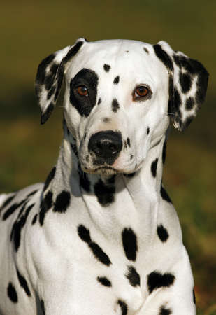 behold: portrait of a dalmatian dog Stock Photo