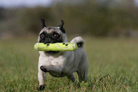 black pug: running blond pug with a dog-toy Stock Photo