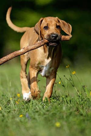 bitch: Rhodesian Ridgeback cachorro con gran rama  Foto de archivo