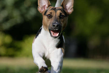 running Jack Russel terrier photo