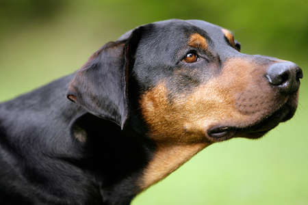 portrait of the head of a doberman photo