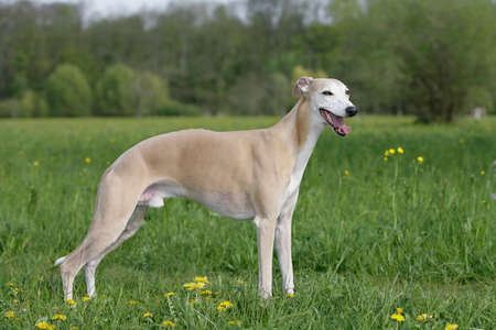 greyhound: standing whippet dog
