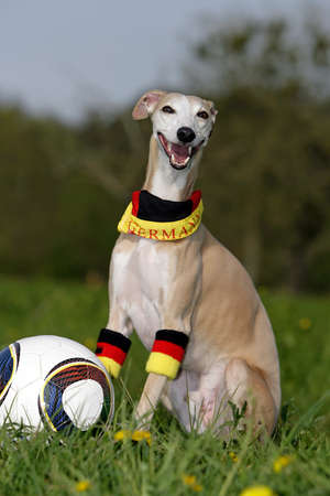whippet as a proud German soccer cup winner photo
