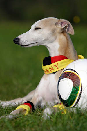 whippet as German soccer fan photo