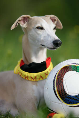 whippet in German colors with a football  photo