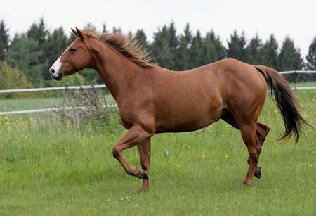 troting American Quarterhorse