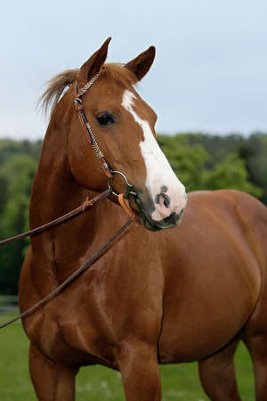 close-up of an American quarterhorse Stock Photo