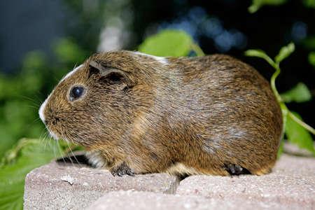 brown guinea pig Stock Photo - 7287549